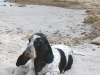 After eight Basset Hound
