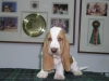 XCODE BASSETHOUND TERRA D'ORFILI