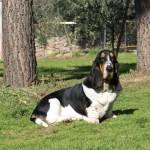 Basset Hound Sardegna - miss mildred