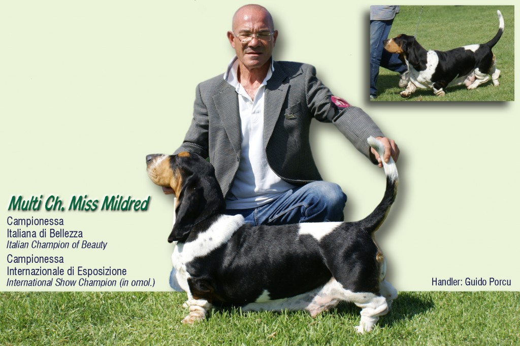 Basset Hound Sardegna - miss mildred