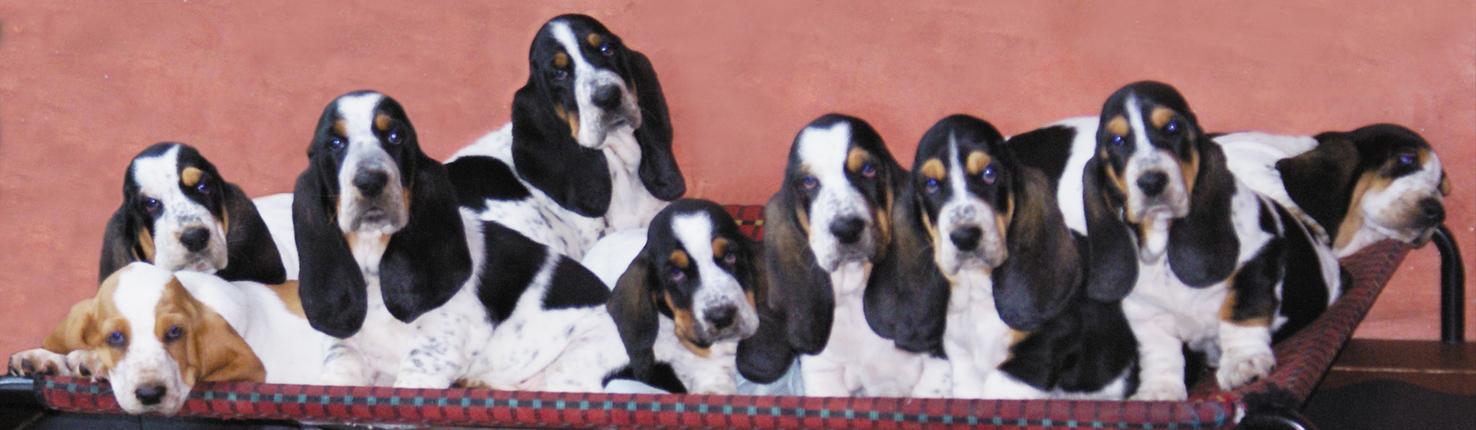 basset hound sardegna - i cuccioli